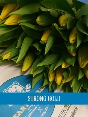 Tulipa Strong Gold